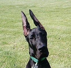 Close Up head shot - A black Great Dane is wearing a green collar sitting in grass with its very large ears up