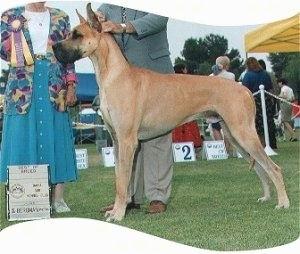 A tan Great Dane is standing in grass at a dog show with a lady holding a ribbon behind it and the handler holding the dog's head up.