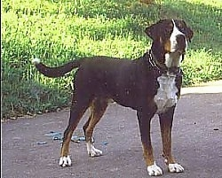 A tricolor black, tan and white Greater Swiss Mountain Dog is standing on a black top in front of a hill
