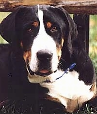 Close Up head shot - A tricolor black, tan and white Greater Swiss Mountain dog is laying outside under a wooden bench