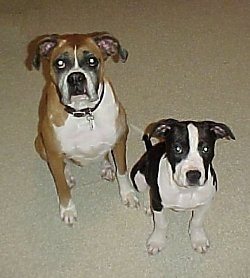 A brown with white boxer is sitting next to a black with white American Pit Bull Terrier puppy on a tan carpet looking up.