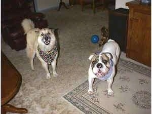 Spike the Bulldog is standing on a rug and he is wearing a bandana. To the left of him is a tan with white and black Shepherd Husky wearing a bandana also. They are looking up, both of there mouths are open and it looks like they are smiling.