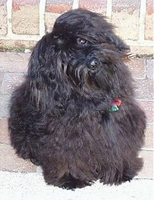 A black Havanese is sitting in front of a brick wall with its head tilted deep to the left.
