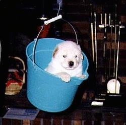 A white with tan puppy is inside of a blue bucket that is hanging in the air by a wire.