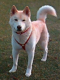 Ainu Dog Breeds