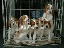 A litter of white with red Irish Setter puppies inside of a pen