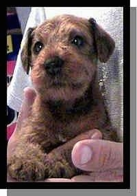 An Irish Terrier puppy is in the arms of a person