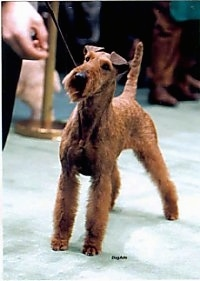 A brown Irish Terrier is standing on a green carpet at a dog show with a person in front of it holding its lead.
