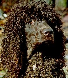 Close Up head shot - A brown Irish Water Spaniel is looking proudly ahead.