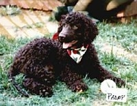 A brown Irish Water Spaniel is wearing a bandana and it is laying in grass.