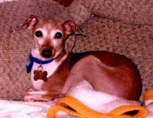 A tan with white Italian Greyhound is laying on a tan couch on top of a towel and looking forward.