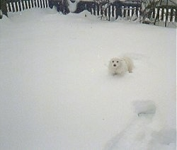 A Japanese Spitz is standing in deep snow out in a yard with a wooden fence behind it.