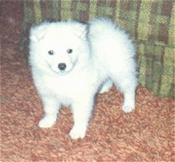 A small Japanese Spitz Puppy is standing next to a tan plaid couch