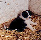 A black and white Karelian Bear puppy is sitting on hay
