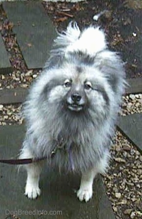 A Keeshond is standing on a gray flagstone walkway and looking up