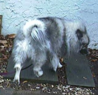 A Keeshond is walking down the gray flagstone walkway