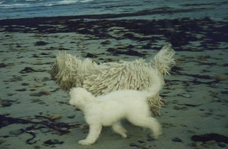 A Corded Komondor is running down a beach next to a white Komondor puppy. There are ocean waves in the distance.