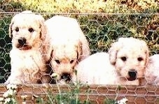 Three Australian Labradoodle Puppies sitting in front of a brick wall