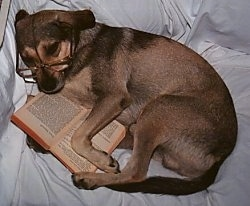 A medium-sized brown and black mixed breed dog wearing glasses laying on its side on a white human's bed with a book in between its front paws.
