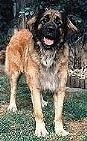 A Leonberger is standing in grass and faceing forward. Its mouth is open and tongue is out.
