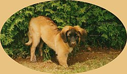 A brown with black Leonberger puppy has its front paws in a hole that it is digging in front of an evergreen tree.