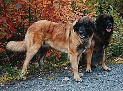 Two extra large dogs on a path with colorful leaves behind them - A standing brown with black Leonberger next to a sitting black with brown Leonberger.