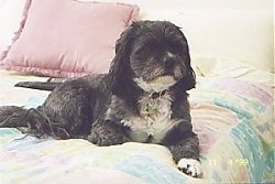 A black with white Lhasa Apso is laying on a human's bed and one of its paws are over the edge. There is a pink pillow behind it and the comforter is a combo of pastel colors