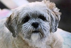 Close up head shot - a tan with white and grey Lhasa Apso is looking up.