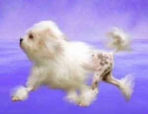 A composited image of a Lowchen running across a purple background. The front half of the Löwchen has hair and the back half only has hair at the ankles and top of the tail. The rest of the dog is shaved.