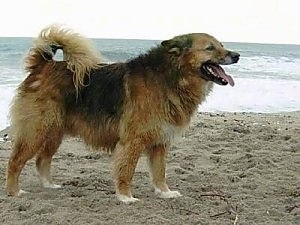 The right side of a wet brown with black and white dog standing on a beach. It is panting. Its tail is curled up over its back and there are ocean waves in the background.