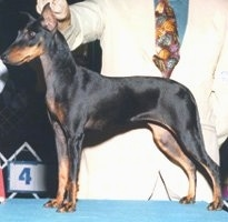 Side view - A black and tan Toy Manchester Terrier dog is standing on a table in a show dog stack and behind it is a person holding its head up.