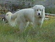 Maremma Sheepdog Puppy Dogs