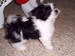 A fluffy, black and white Mi-ki puppy is standing on a tan carpet in front of a white wicker chair that a person in red pants and white socks is sitting in.