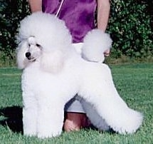 A puffy white Miniature Poodle is groomed like a show dog and standing outside in grass and there is a person behind it on their knees posing the dog in a stack.