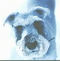 Close Up head shot - A black and white photo of a Miniature Schnauzer standing in snow. It has snow on its muzzle.