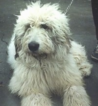 A fluffy coated white Romanian Mioritic Shepherd Dog is laying on a blacktop and there is a person standing next to it.