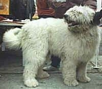 A white Mioritic Sheepdog is standing on a sidewalk and there is a person behind it. Its mouth is open and tongue is out. It is looking back.