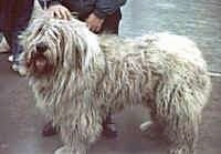 Side view - A long-coated, shaggy-looking white Romanian Mioritic Shepherd Dog is standing on a concrete area with a person behind it. Its mouth is open and tongue is out.