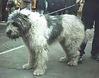 A white with gray Romanian Mioritic Shepherd Dog is standing outside on a black top surface at a dog show. There are people in the distance watching.