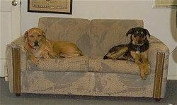 Two large breed dogs laying at each end of a tan couch - A tan with white Vizsla mix and a black and tan dog with rose drop ears.