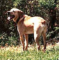 The backside of a tan with white Mountain View Cur is standing outside in grass in front of trees and it is looking to the left. Its mouth is open and its tongue is out.