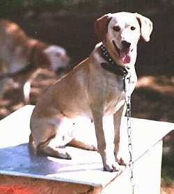 A tan with white Mountain View Cur dog is sitting outside on a chain on top of a doghouse and it is looking forward. Its mouth is open and tongue is out.