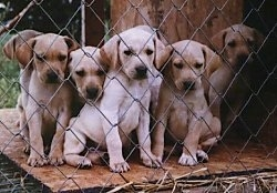 A litter of Mountain View Cur puppies are sitting on the other side of a chain link fence.