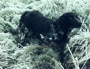 A black with white Large Munsterlander dog is standing in green brush and grass looking up.