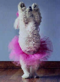 A white poodle in a pink tutu with its front paws in the air.
