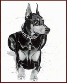 Front view - A black and white photo of a Doberman Pinscher dog that is laying down looking to the right.