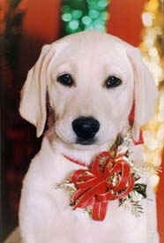 Close up - A white Labrador is sitting on a carpet and looking forward. It has a ribbon on its chest.