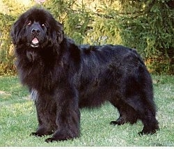 Left Profile - A black with white Newfoundland is standing outside in grass and its mouth is open. It is looking forward. The dog looks like a black bear.