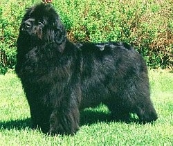 Left Profile - A black Newfoundland is standing outside in grass there is a bush behind it and it is looking up.