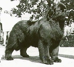 A black and white photo of a Newfoundland dog looking forward. Its mouth is open and its tongue is sticking out. It looks huge and furry.